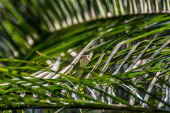 Snake (Chrysopelea ornata) on a tree Stock Images