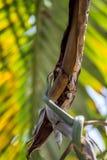 Snake (Chrysopelea ornata) on a tree Stock Photo