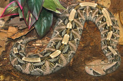 Snake. Close Up Detail Of Gaboon Viper Coiled On Ground Stock Image