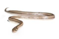 Snake. Close up snake on white background isolated Stock Photos