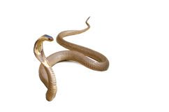 Snake Cobra. Hooded cobra isolated with clipping path on white background Royalty Free Stock Image