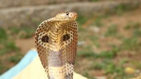 Snake cobra close up shot stock video