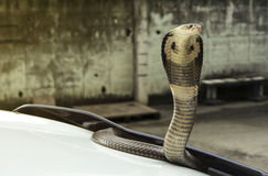 Snake cobra on the lid front hood car Stock Photos
