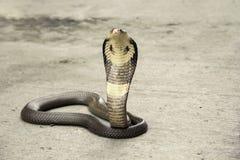 Snake Cobra. Snake Siamese cobra  Naja kaouthia  the cement floor street Royalty Free Stock Image