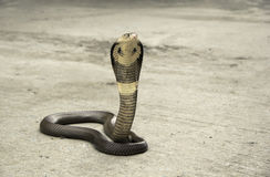 Snake Cobra Stock Photography