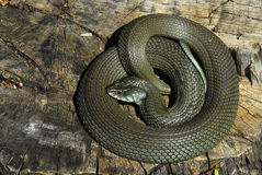 Snake coiled Royalty Free Stock Images