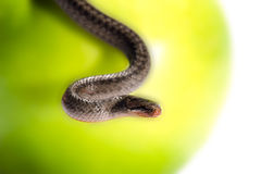 A snake coiled on an apple Royalty Free Stock Images