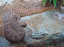Snake. Coiled rattle snake resting on sandy ground Stock Photos