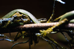 Snake coiled in tree Stock Images