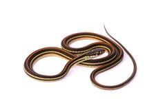 Snake. Colorful snake against white background Royalty Free Stock Photo