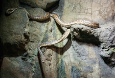 Snake coming down the rocks. At the zoo Stock Photos