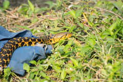 Snake coming out of it`s hide Royalty Free Stock Photos