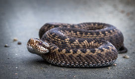 Snake, Common European Adder, Vipera berus royalty free stock images