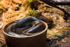 Snake cooling itself in a bowl of water. Dar colored snake cooling itself in a bowl of water in an enclosure in a zoo stock images
