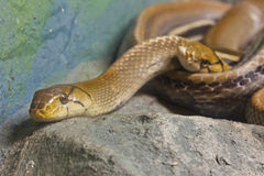 Snake,Copperhead Racer Royalty Free Stock Images