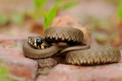 The snake - a cord. The beautiful and quiet snake Stock Photography