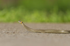 Snake crawling on paved road Stock Photography