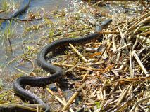 Snake crawling Royalty Free Stock Photography