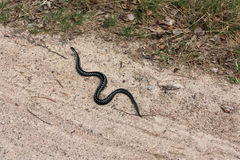 Snake crawls road (Vipera berus) Royalty Free Stock Images