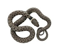 Snake - curled Stock Images