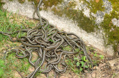 Snake Den. A pile of garter snakes intertwined on the ground Stock Images