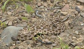 Snake-Desert massasauga Rattlesnake Stock Image