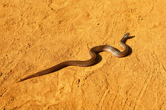 Snake in the desert Stock Images