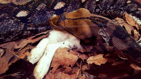 Snake devouring an animal Royalty Free Stock Photos