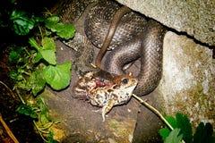 Snake dinner Royalty Free Stock Images