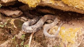 Snake on the dry soil. Picture of snake on the dry soil stock photography