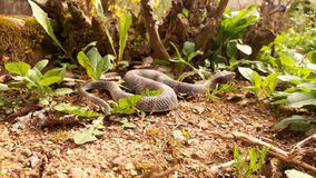 Snake on the dry soil. Picture of snake on the dry soil royalty free stock images