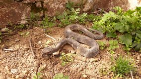 Snake on the dry soil. Picture of snake on the dry soil royalty free stock photography
