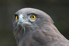 Snake Eagle. African Snake Eagle with yellow eyes and intent stare royalty free stock photo