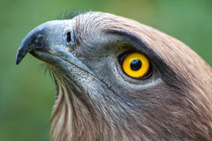 Snake Eagle. This is a Circaetus (Snake Eagle) close up. Beautiful sharp yellow eyes and a posing stand royalty free stock image