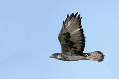 Snake Eagle Stock Photography