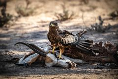 Snake Eagle on Springbok carcass royalty free stock photo