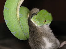 Snake eat the mouse Royalty Free Stock Images