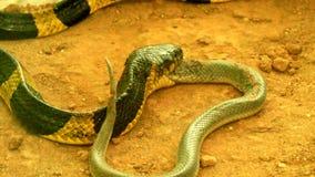 Snake eat snake stock video