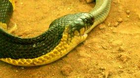 Snake eat snake stock footage