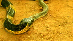 Snake eat snake stock video footage