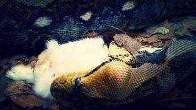 Snake eating an animal Royalty Free Stock Photography