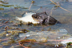 Snake eating fish in river Royalty Free Stock Photography