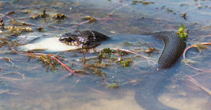 Snake eating fish in river. Eastern Rat Snake (Pantherophis alleghaniensis) swallowing fish caught in river Stock Photos