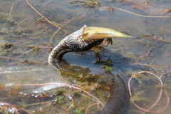 Snake eating fish in river. Eastern Rat Snake (Pantherophis alleghaniensis) swallowing fish caught in river Stock Photography