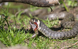 Snake eating a frog. Grass snake feeding on frog royalty free stock photos