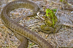 Snake eating frog. Image snake eating frog. Close-up Stock Photography