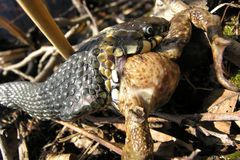 Snake eats frog Royalty Free Stock Photo