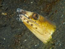 Snake eel with attendant cleaner shrimp Royalty Free Stock Photo