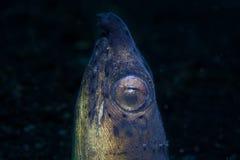 Snake Eel Stock Image