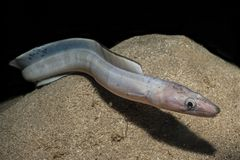 Snake Eel in the Red Sea. Colorful and beautiful, Eilat Israel royalty free stock image